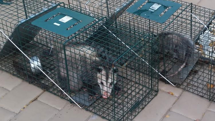 Possums in cage traps