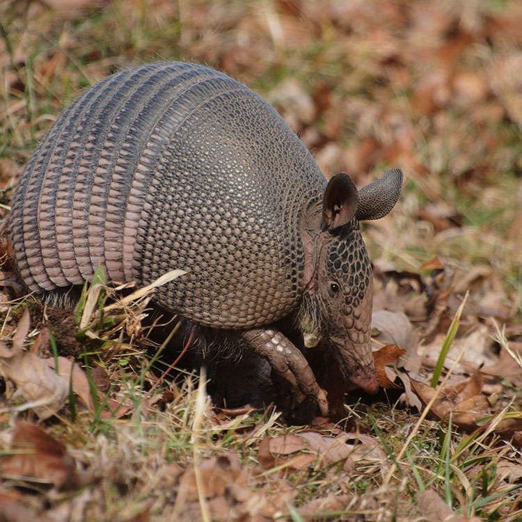 Armadillo in the grass