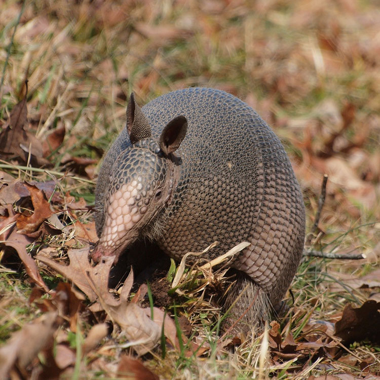Armadillo in leaves