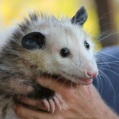 Hand-caught possum