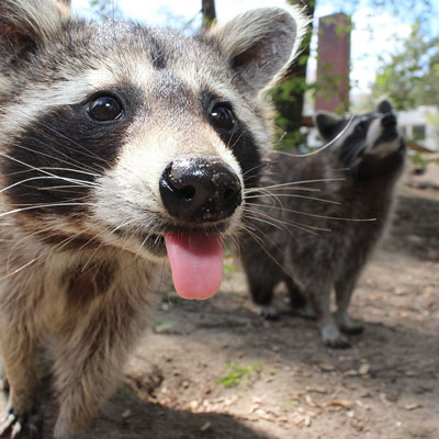 Raccoons at a wildlife sanctuary
