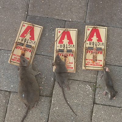 Rats in traps