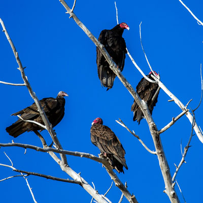 Vultures roosting in a tree
